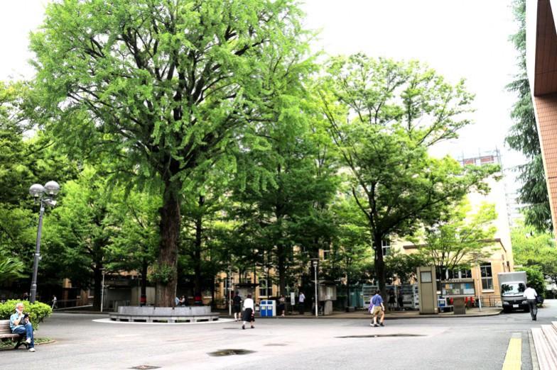 左が三田キャンパスを代表する大イチョウ