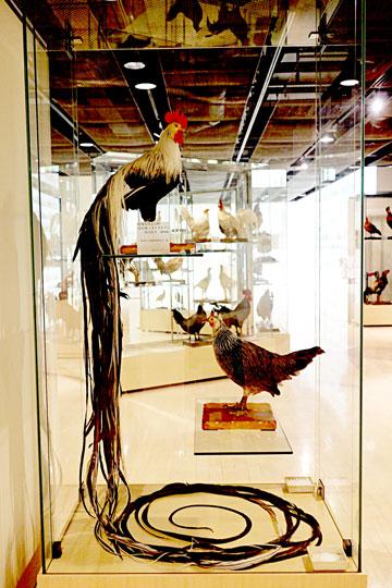 尾の長さが6メートルにもなる尾長鶏のはく製。これほど美しく残っている個体はめずらしいとか