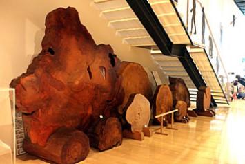 左、樹齢1400年と言われる縄文杉の材鑑標本