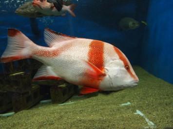 他の水族館ではあまり見られないセンネンダイ