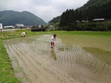 田車を使った草取り。ぬかるんだ田んぼの中での作業は想像以上に体力がいる