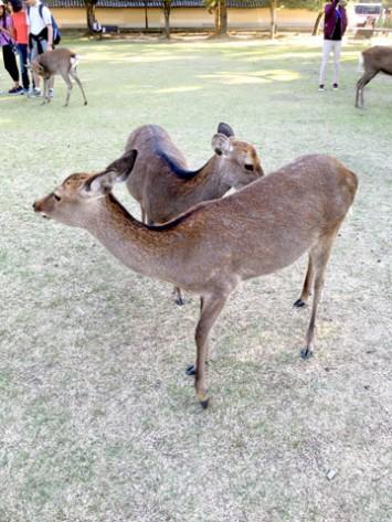 奈良女子大に奈良公園の鹿が現れることも!