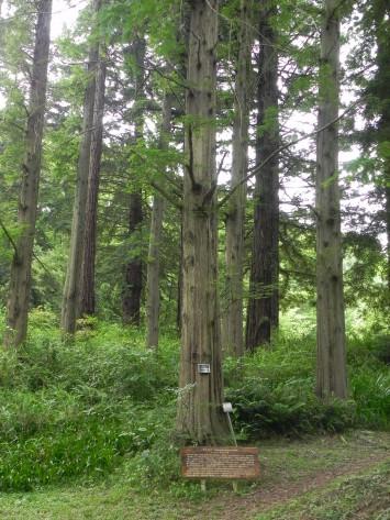 大阪府立大学理学部附属植物園に残る100本のうちの1本