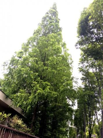 大阪市立大学杉本キャンパスのメタセコイア