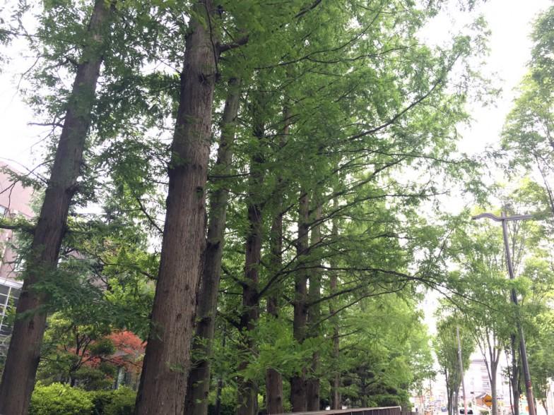 大阪市立大学 杉本キャンパスのメタセコイア並木