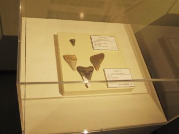 天狗の爪とされてた化石
