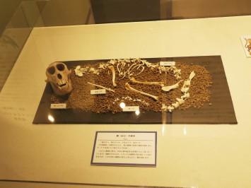 伝承にあるとおりの動物の骨格模型で作られた鵺の骨格