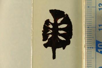メタセコイアの球果の化石