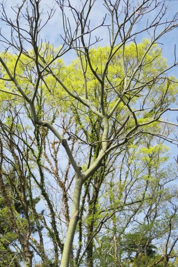 アオギリの木。幹が青みがかっていることからその名が付いているそう