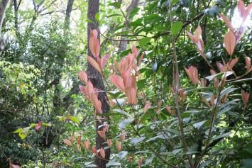 カナメモチ。庭木として人気があるレッドバロンよりも落ち着いた色が特徴