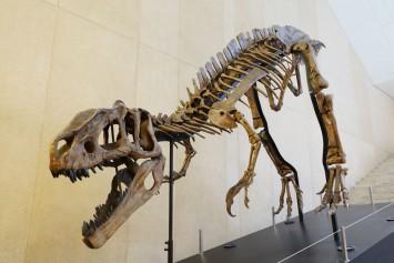 3号棟で迎えてくれた大型恐竜!原始的なティラノサウルスの仲間の骨格模型で、およそ1億2000万年前のもので産地は中国。