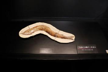 触れる標本「ヴィンティファー」。頭と尾から感覚の違いを試してみてはいかがでしょう。