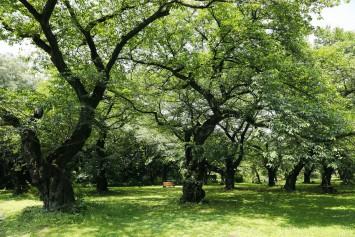ソメイヨシノ林。1879年にはすでに植栽されていたという記録が残っており、日本で最も長寿といわれる。お花見のシーズンには多くの人で賑わいます