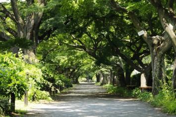 春は緑のトンネル、秋は赤のトンネルとなる美しいカエデ並木