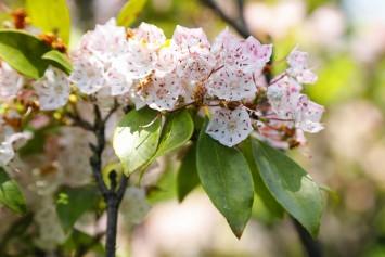 コンペイ糖のような形をしたカルミアの花。昆虫などの刺激により雄しべが飛び出し、花粉が散るというおもしろい仕組みを持っています