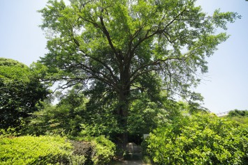 1896年(明治29年)に平瀬作五郎が、この雌の木から採取した若い種子から精子を発見。当時、世界の学会に大きな反響を起こしました