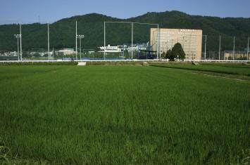 水田は大学のすぐ近くなので、学生が授業で出かけるときなど何かと便利(奥に見えるのが大学の建物)