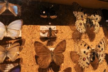 真ん中の小さな標本がオガサワラセセリ