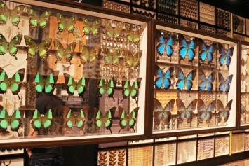 色鮮やかな翅が美しい蝶の標本