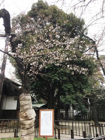 東京の桜の標本木は大妻女子大学から歩いてすぐの靖国神社にあります。今年は少し早かったみたい
