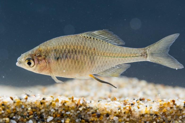 地元では「ペタキン」の通称で知られるニッポンバラタナゴ(上がオス、下がメス)。環境省レッドリストでIA類に分類される絶滅危惧種で、奈良県では1970年代を境に絶滅したと思われていたが、2005年に奈良公園で発見。北川先生は生息環境の保全や繁殖活動に取り組んでいる