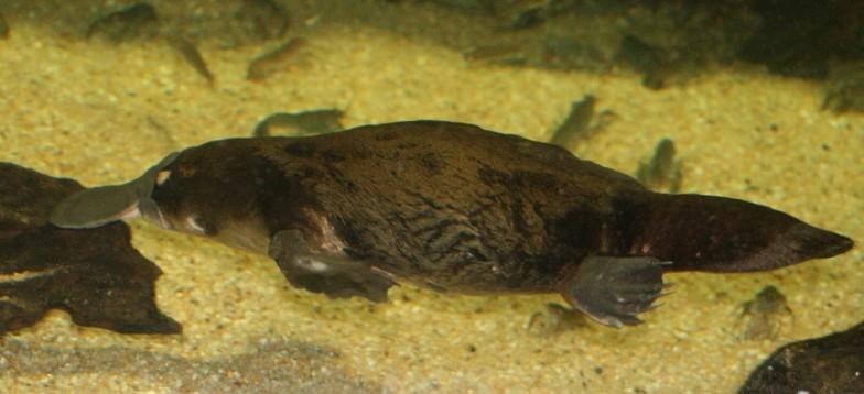 シドニー水族館で浅原さんが撮影したカモノハシ
