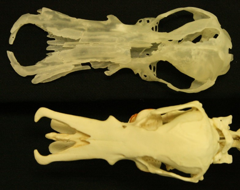 オブドゥロドンの頭骨(上)とカモノハシの頭骨(ともにレプリカ)
