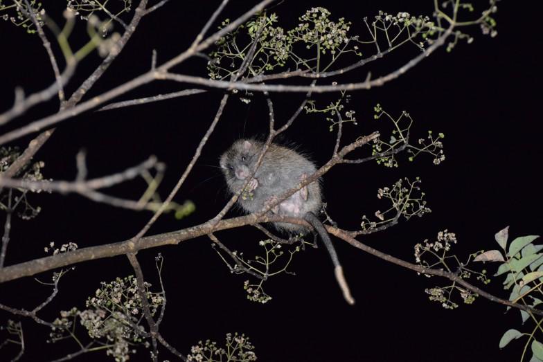ケナガネズミ。毛も長いがしっぽも長い