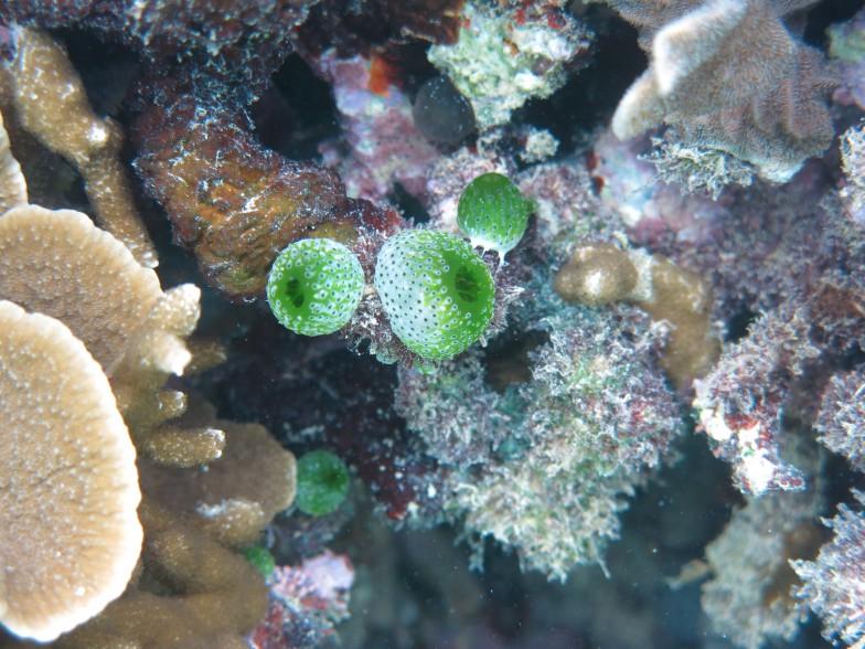 ドーム状の群体性ホヤ(真ん中の緑)