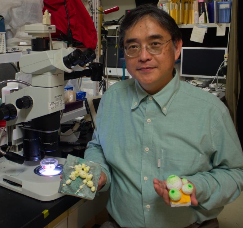 群体性ホヤの研究者、琉球大学の広瀬裕一教授。手にはマメボヤ(向かって左)とチャツボボヤの模型が