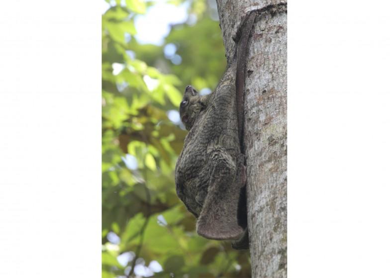 日中、木にしがみついて休んでいるマレーヒヨケザル(昼間はほぼこのポーズ)