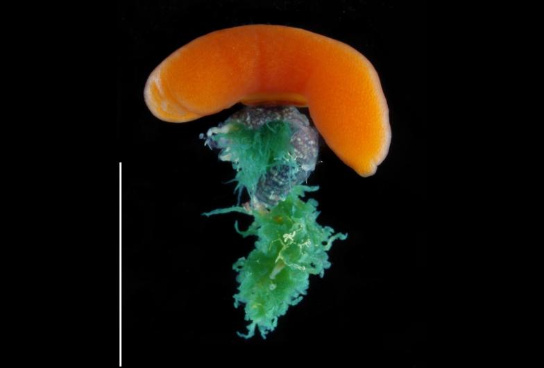 """ヤドカリに寄生するフクロムシを宿主から取り出した様子。緑色が宿主体内にある""""根""""の部分、オレンジ色が卵の詰まった生殖器官。スケールバーは10mm"""