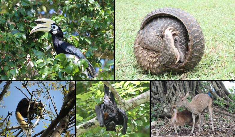 マレーヒヨケザルと共存する動物たち。左上から時計回りに、キタカササギサイチョウ、マレーセンザンコウ、ルサジカ、ジャワオオコウモリ、インドオオリス