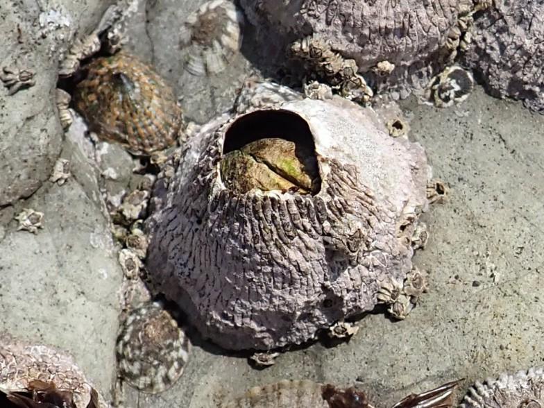 ちなみにフクロムシはフジツボの仲間。写真はクロフジツボ
