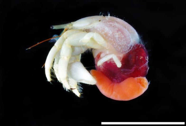ヤドカリのお腹にいる赤いものが、吉田さんが発見し新種記載したフクロムシ。学名はDipterosaccus shiinoi。スケールバーは10mm