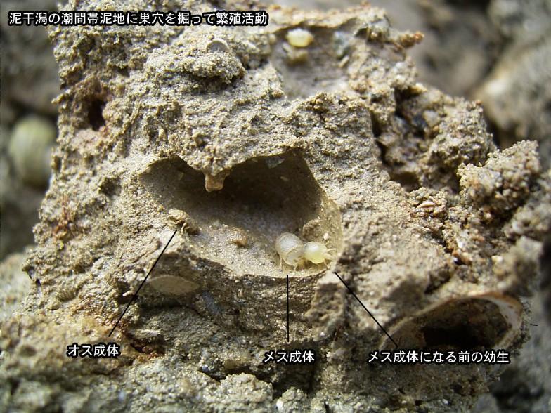 ドロホリウミクワガタの巣穴