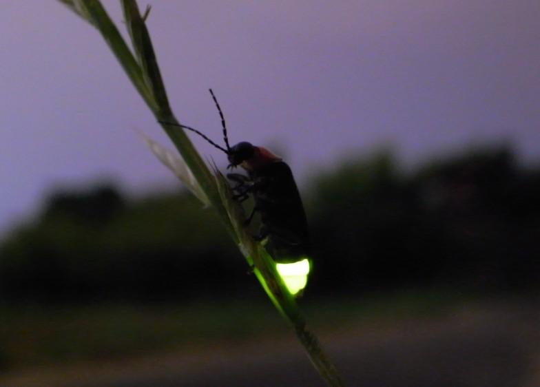 黄緑色に発光するゲンジボタルの成虫