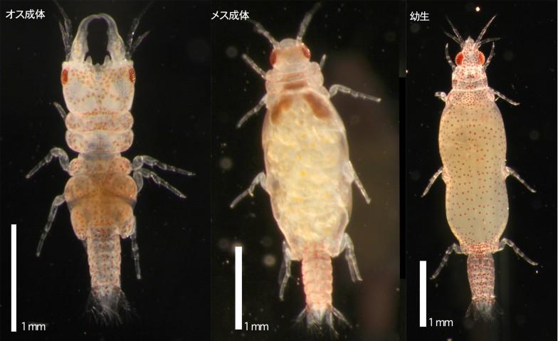 ソメワケウミクワガタ。一番左、オスの頭部はクワガタムシそっくりである。真ん中はメスの成体。右は幼生の姿