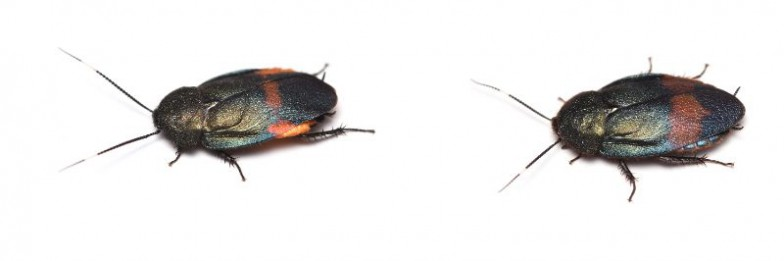 (左)新種ゴキブリ1 アカボシルリゴキブリ奄美大島産のオス、(右)新種ゴキブリ2 ウスオビルリゴキブリ 与那国島産のオス。写真提供:竜洋昆虫自然観察公園 柳澤静磨