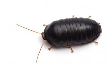 ヒメマルゴキブリ 外敵から身を守るため、メス成虫と幼虫にはダンゴムシのようにボール状に丸まる習性がある。鹿児島から沖縄にかけて分布。