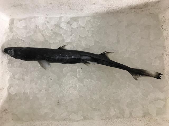 フジクジラ。海底では背びれの棘を目立たせるように発光するという