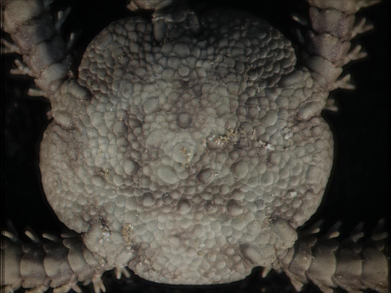岡西先生が魅せられたというクモヒトデの鱗の顕微鏡写真
