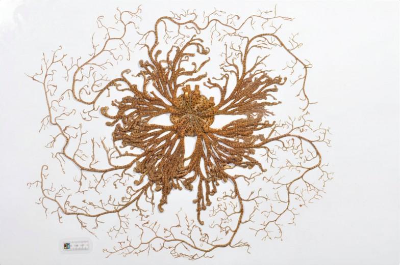 クモヒトデの仲間の中でもひときわ奇妙な見た目のテヅルモヅル。細かく枝分かれした腕が特徴(写真撮影:山内洋紀[京都大学白浜水族館])