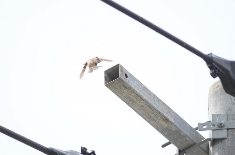 腕金の中の巣に餌を運ぶスズメ