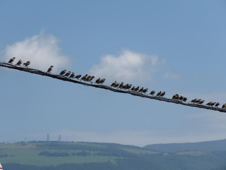 電線にズラッと並んだムクドリの群れ