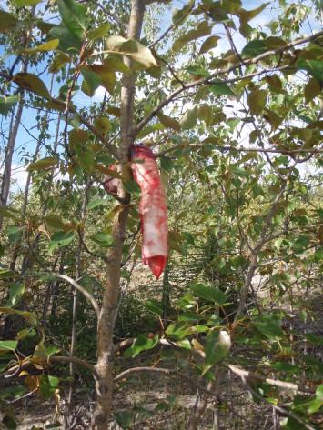 解体に際して、切り取った気管をそばの木の枝に吊るす。