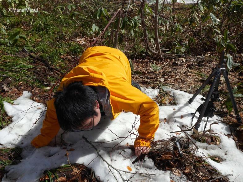 変形菌を採取して、育てるのは試行錯誤の毎日。残雪から好雪性粘菌(雪の中で生きる変形菌)を探しているところ。