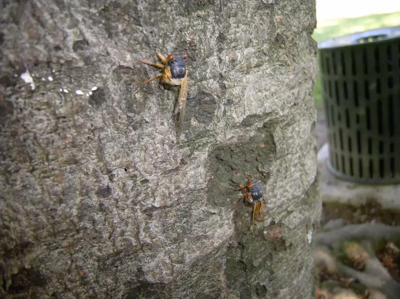 お腹だけを食べられ、まだ生きているセミ。地面から木に登ってくる様子はゾンビのよう(撮影:曽田貞滋)
