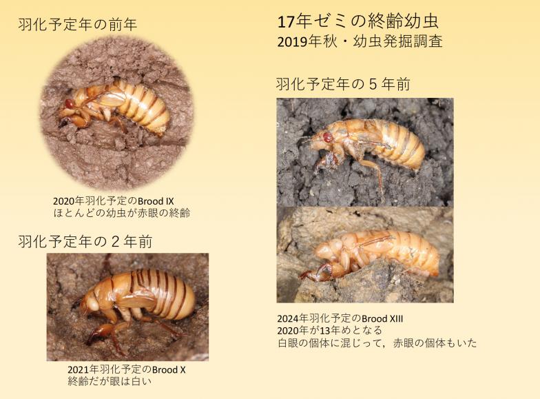 十分な体重に成長した幼虫は羽化前年に目が赤くなる。17年ゼミの幼虫を掘り出してみると、4年早く羽化の兆候が見られる「はぐれ者(straggler)」も